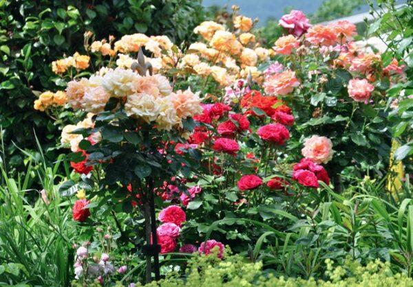 Elegant-rosenstang-for-extra-stod-fran-Vansta-Tradgard