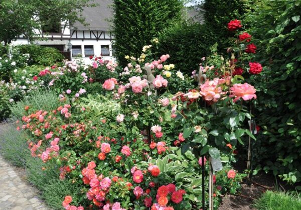 Elegant--snyggt-och-diskret-rosenstod-fran-Vansta-Tradgard