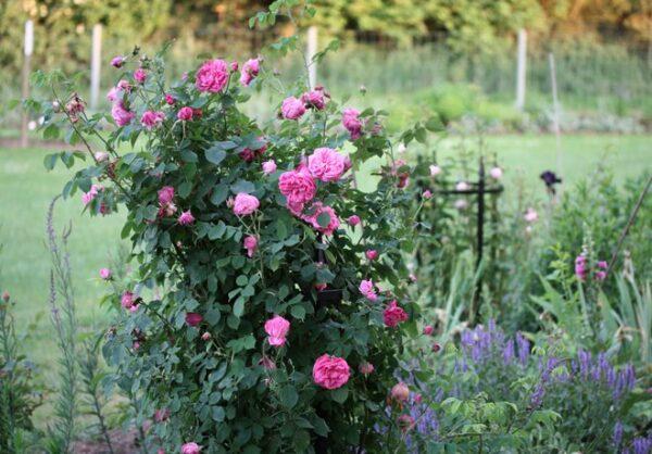 Elegant-rosenstod-av-hogsta-mojliga-kvalitet-fran-Vansta-Tradgard