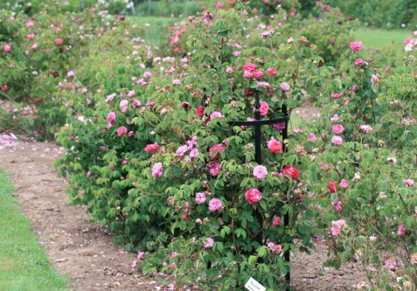 Magnifikt-rosenstod-av-oslagbar-kvalitet-fran-Vansta-Tradgard